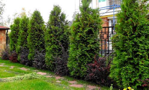 живая изгородь из хвойных растений