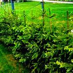 Живая изгородь из ели