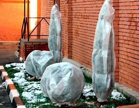 саженцы ели зимой