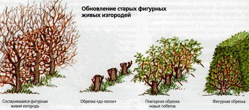 подрезка живой изгороди