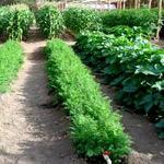 Удобные грядки по Митлайдеру для получения обильного урожая