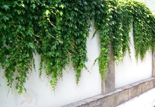 забор девичий виноград